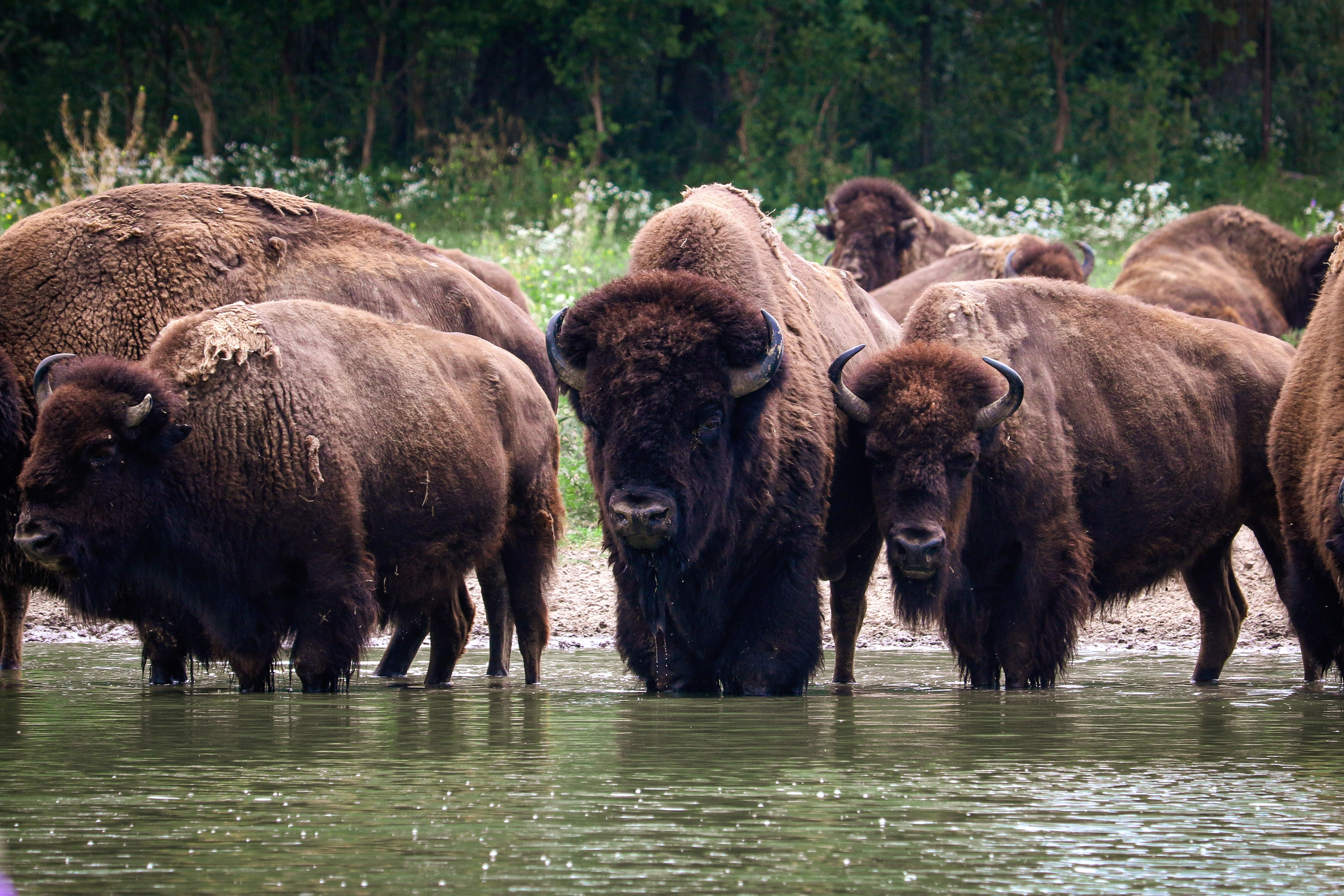 Photo of Bison at river