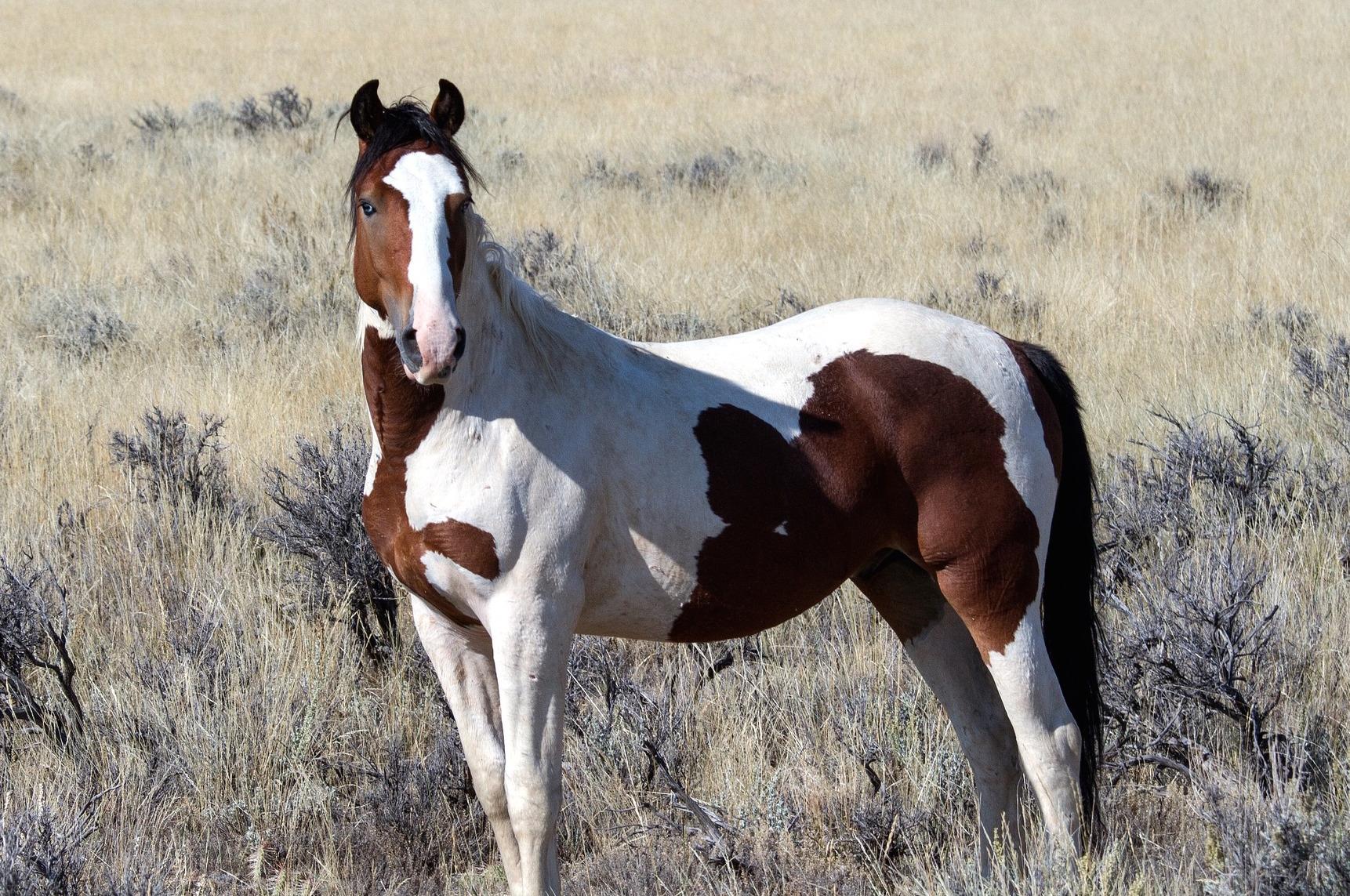 wild-horses-1760583_1920