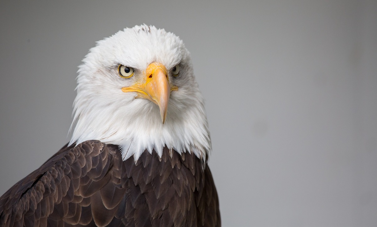 Bald Eagle photo for Modest Proposal to Save democracy post