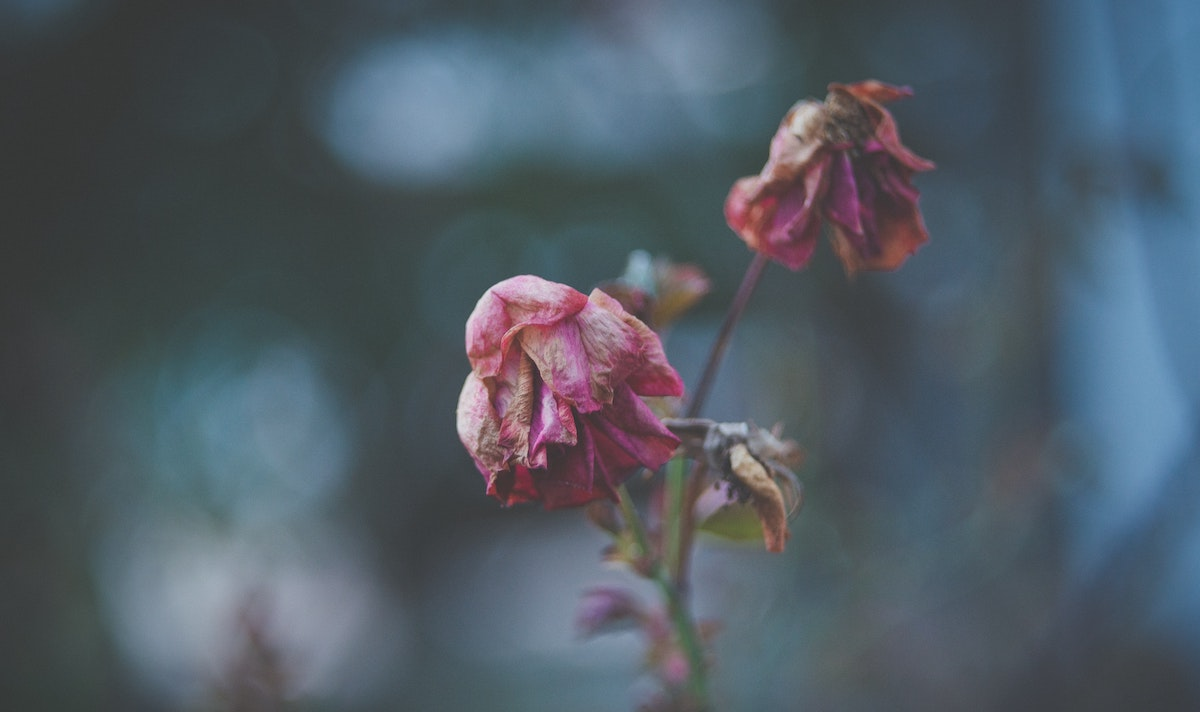 Photo of dying roses